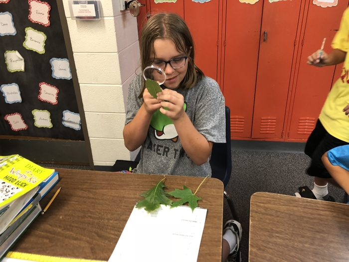 5th grade examining leaves with a hand lens.