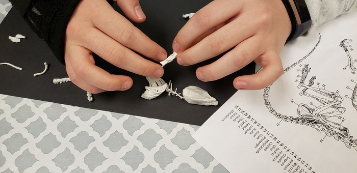 reconstructing rodent skeleton